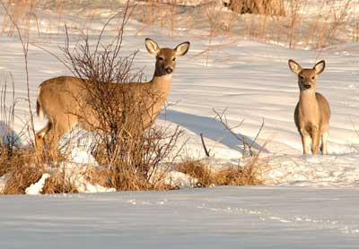Deer under a tree in snow, photo by Melissa Snell