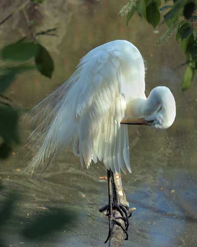 Great Egret Preening, photo by Melissa Snell